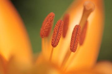 nature macro photography - close up of an orange lily flower with pollen, outdoors on a sunny summer day