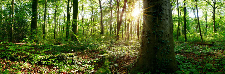 Wall Murals Forest Beautiful forest panorama with bright sun shining through the trees