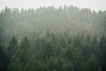 Misty landscape with fir trees