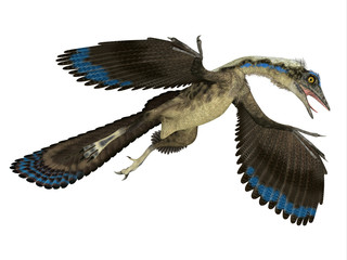 Archaeopteryx Reptile in Flight - Archaeopteryx was a carnivorous Pterosaur reptile that lived in Germany during the Jurassic Period.
