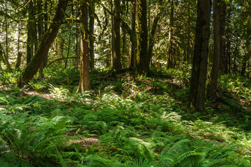 Green Rainforest in west Canada provincial park with fern.