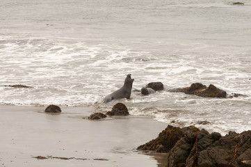 Elephant Seals on the beach in California