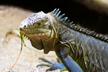 Cyclura nubila / The Cuban rock iguana