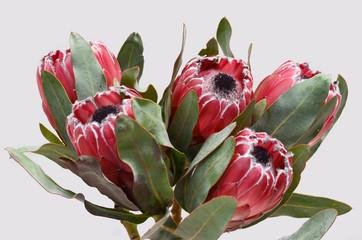 Protea sylvia plant for background