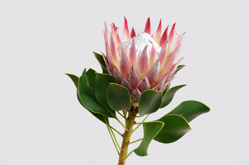 King protea flower on white background