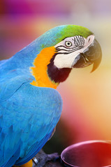 Photo of a close-up of a large blue macaw