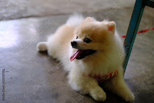 White And Brown Pom Pom Pomeranian Dog Stock Photo And Royalty Free