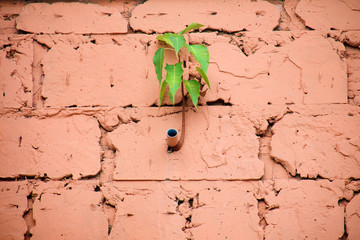 Sacred fig (Ficus religiosa) is growing side of water pipe (PVC) on wall block of building, Small tree growth on orange concrete old wall, Nature background.;