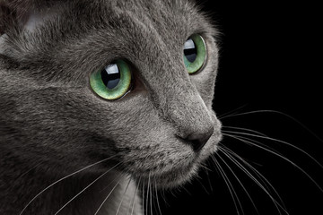 Close-up Portrait of Russian blue Cat face with big Green eyes, on Isolated Black Background, profile view