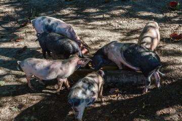 Grupo de cerdos jóvenes alimentándose.
