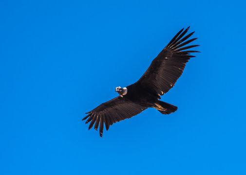 Andean condor, national symbol of Peru