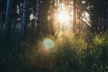 Birch forest in the sun