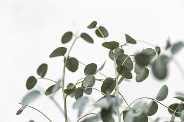 Aluminium Prints India Eucalyptus leaves on white background.