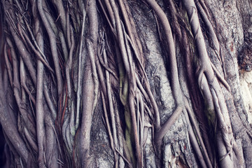 Banyan tree trunk texture root of tree