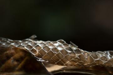 Shed Indian Rat Snake Skin or Moult