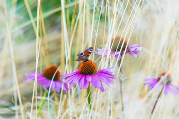 Echinacea flowers with butterfly