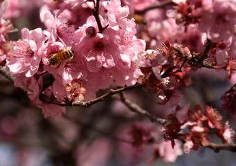 Bee on a pink cherry blossoms. Cherry flowers blossoming in the springtime. Pink cherry blossom in full bloom. Sakura Japanese cherry blossoms in the botanic garden.
