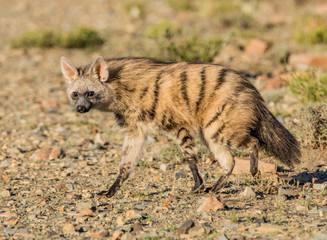 Fotorolgordijn Hyena Aardwolf