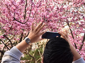 Hand holding smartphone taking photo of cherry blossom in spring time. Focus on the cherry tree. Rear view of a guy using his mobile phone to capture images of the cherry blossoms tree.