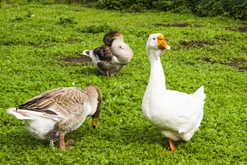 Farming, agriculture concept. Geese eating grass on the farm. Green grass background.