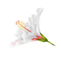 White flower tropical plant hibiscus   on a white background  vintage vector illustration editable hand draw