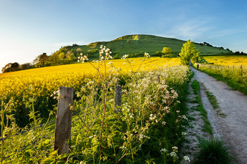 Rapeseed at Cley hill, Wiltshire