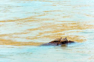 A couple of turtles on the river Iguazu, Garganta del Diablo, Brazil, Argentina.