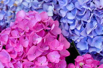 Colorful Hydrangea in summer garden. Macro photo.