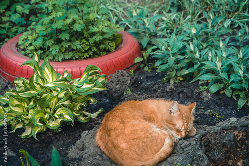 Red Headed Cat Sleeps On The Flower Bed