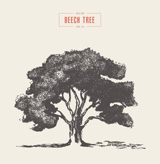 High detail vintage illustration beech tree vector