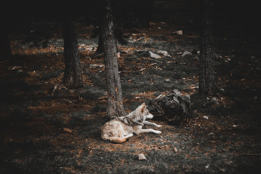 Wolf lying on ground in forest