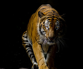 Fototapete - Tiger portrait in front of black background