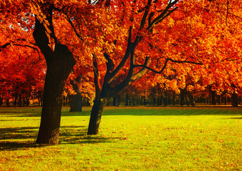 In de dag Rood traf. Autumn red trees in sunny September autumn park lit by evening sunshine. Spreading autumn trees with fallen autumn leaves. Sunny autumn landscape view of autumn city park