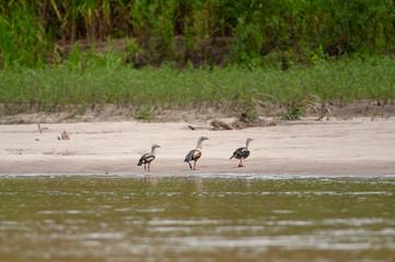 Orinoco Geese (Neochen jubata) walking along the shore of a river in Manu National Park, Peru