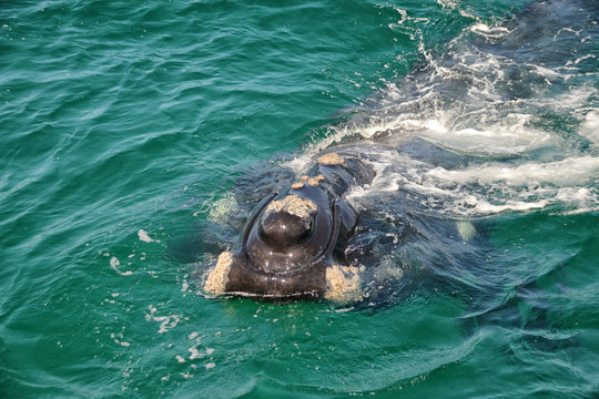 Juvenile Southern Right Whale