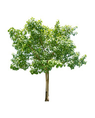 Young bodhi tree on white backgound