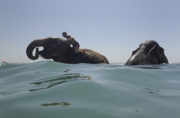 A trainer and elephants from a local circus bathe in the waters of the Black Sea in Yevpatoria
