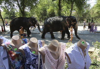 Elephants from a local circus walk after taking a bath in the waters of the Black Sea in Yevpatoria