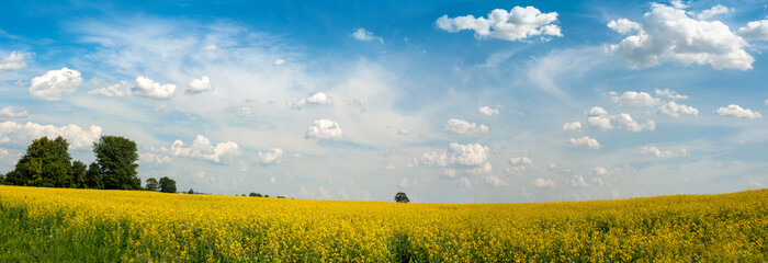 Field of rapeseed against sky with clouds