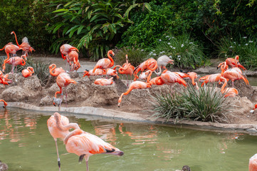 The pink flamingo or Greater flamingo is a large bird. The pink or reddish color of flamingos comes from carotenoids in their diet of animal and plant plankton.