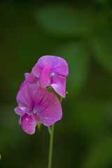FLOWERS - violet sweet pea on green