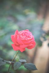 Beautiful Red roses.