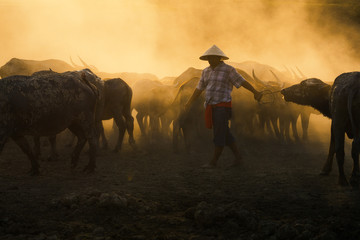 Thai buffalo with farmer