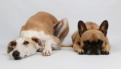 french bulldog and a galgo espanol are lying in the studio together