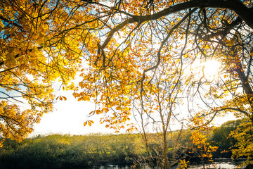 Beautiful, golden autumn scenery with trees and golden leaves in the sunshine in Scotland