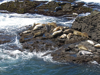 Harbor Seals in a sanctuary on the N. California coast