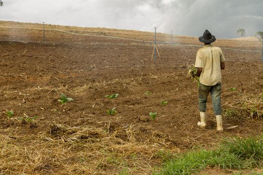 Trabalhador planta mudas de fumo em lavoura de fazenda brasileira