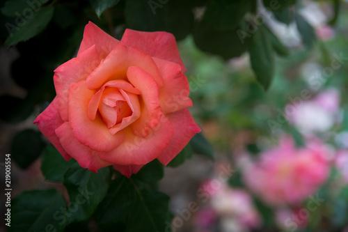 Fleur Rose Christophe Collomb Couleur Rouge Sur Fonds Colore Stock