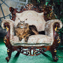 Wall Mural - Maine Coon cat on antique chair