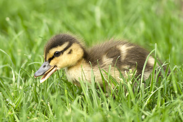 Mallard duckling opens its bill.